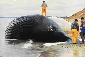 beached_whale650